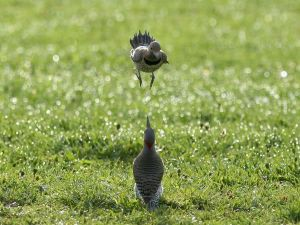 northern-flickers-mating-ritual